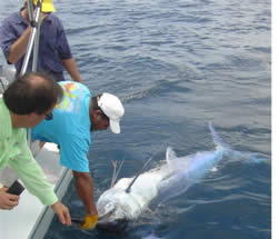 An approximately 450 pound black marlin is brought carefully alongside the Geisha after a 1hr 45min fight
