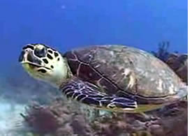 Sea Turtle in the Chiriqui Gulf