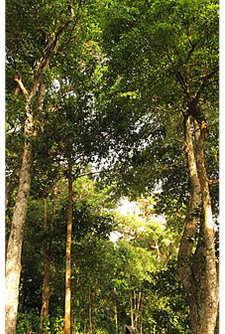 The rain forests of Isla Paridita are full of majestic hard wood trees